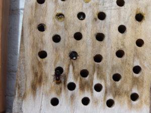Mauerbienen schlüpfen