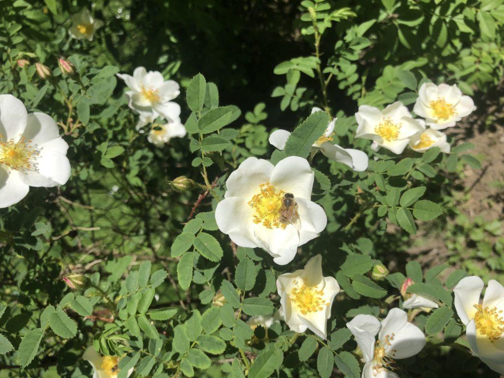 ungefüllte Wildrose