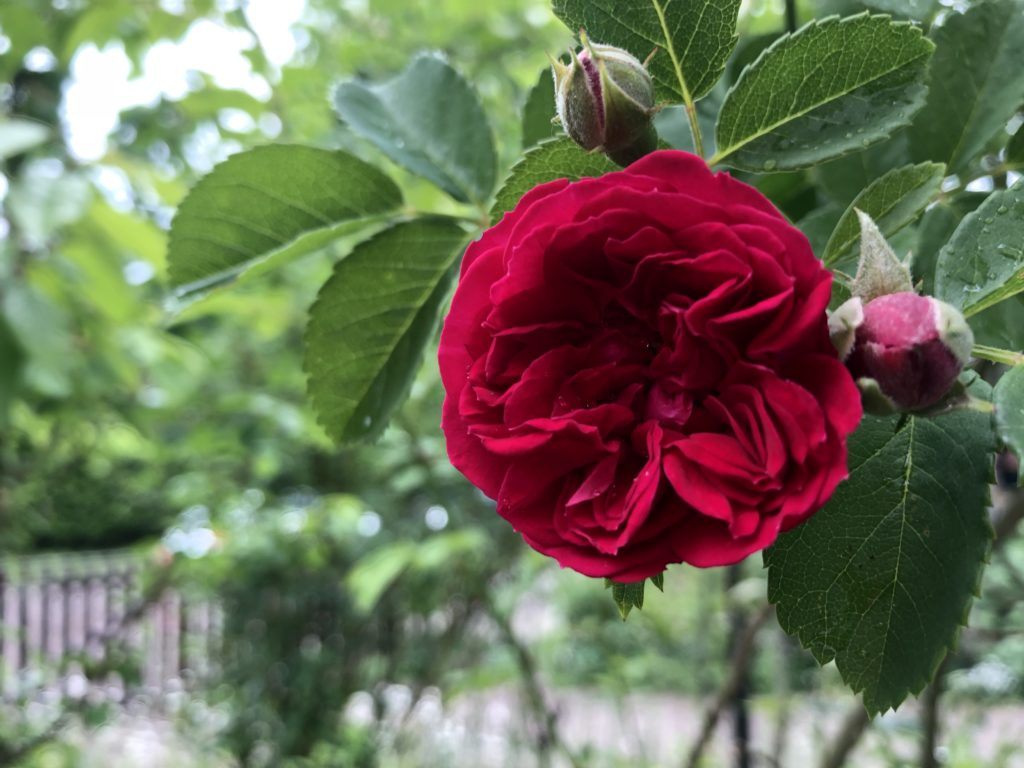 gefüllte Rosenblüte